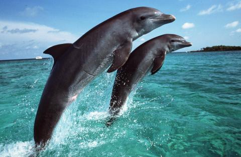 Regal Dive Dolphin image